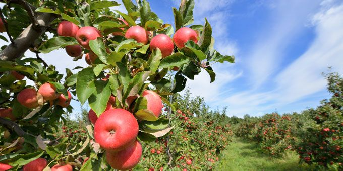 Photo 1Apple-Daves-Orchards