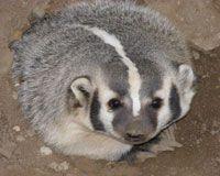 Photo badger