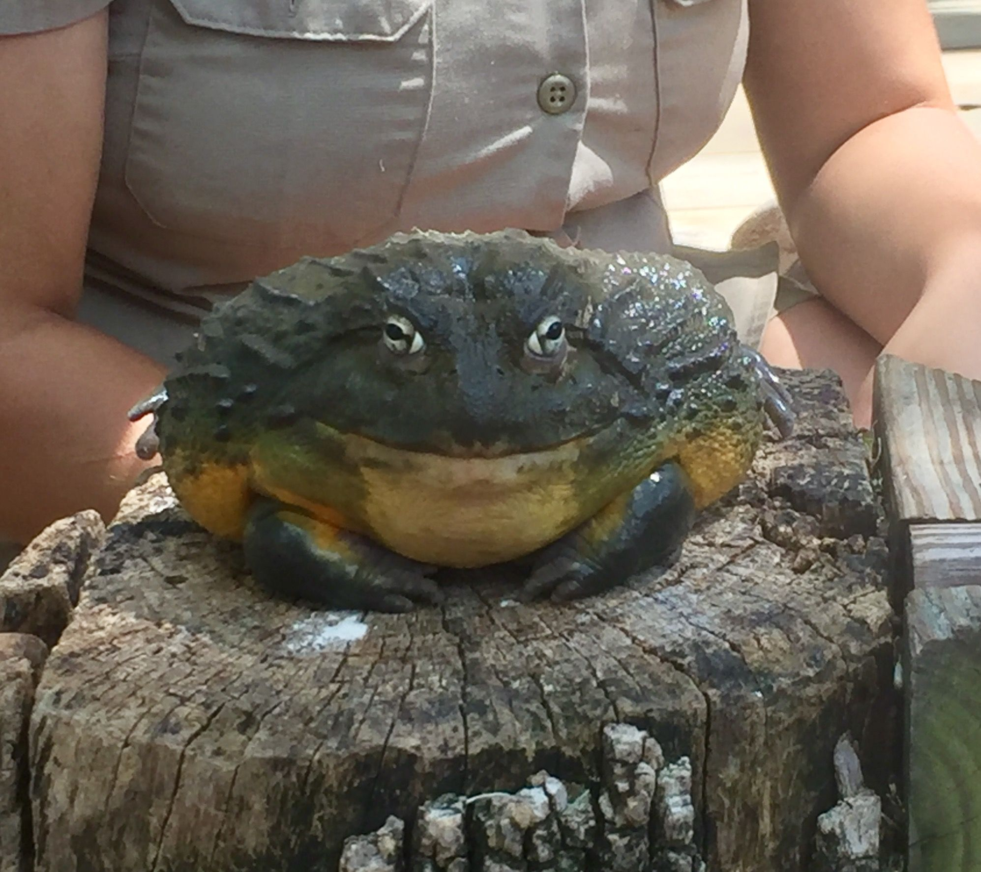 Giant Toad at Branson's Promised Land Zoo