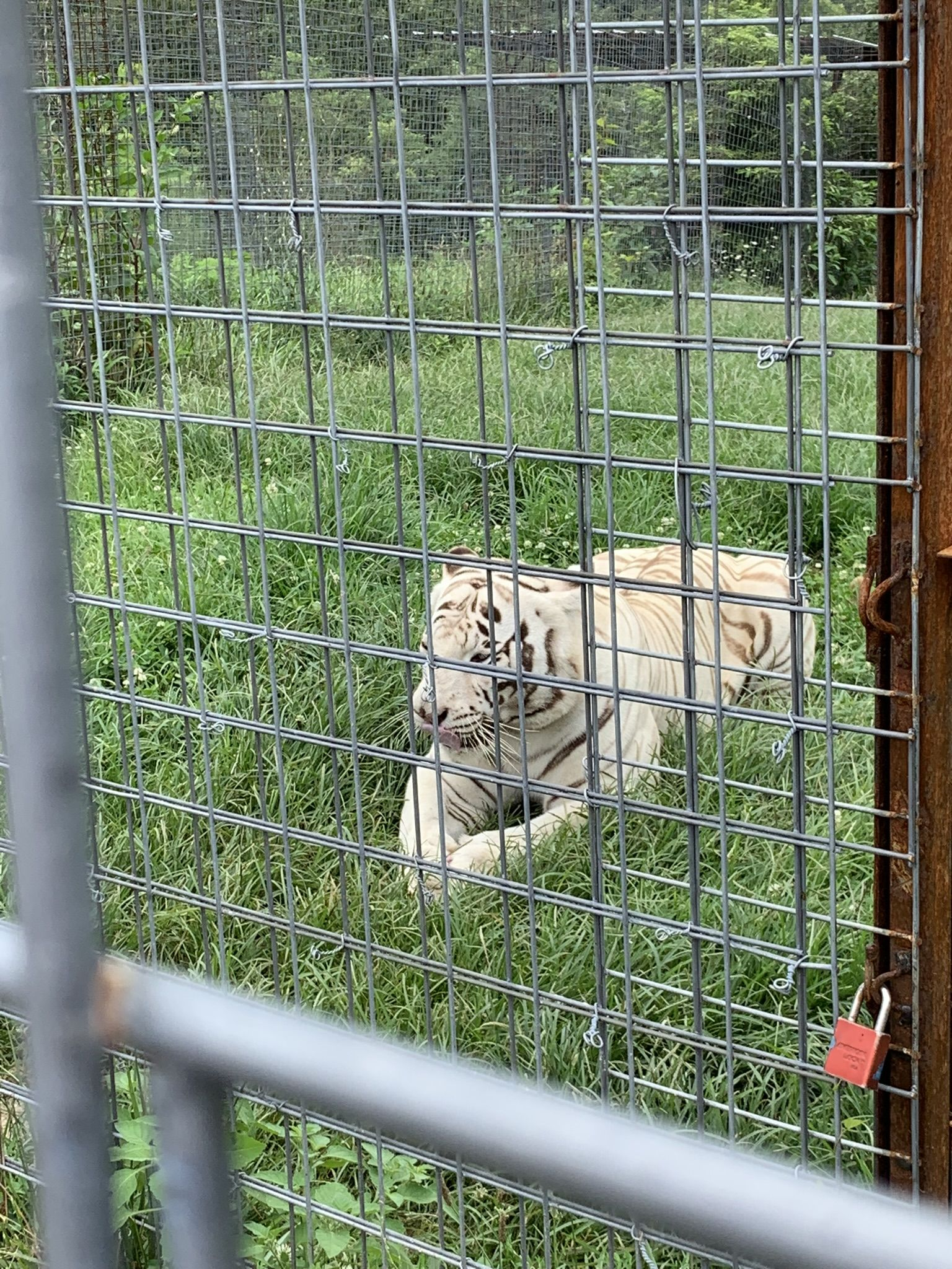 White Tiger at the National Tiger Sanctuary in Branson