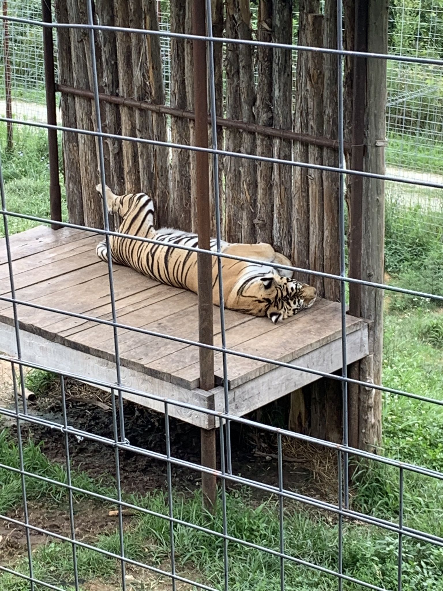 Laying Tiger at National Tiger Sanctuary in Branson