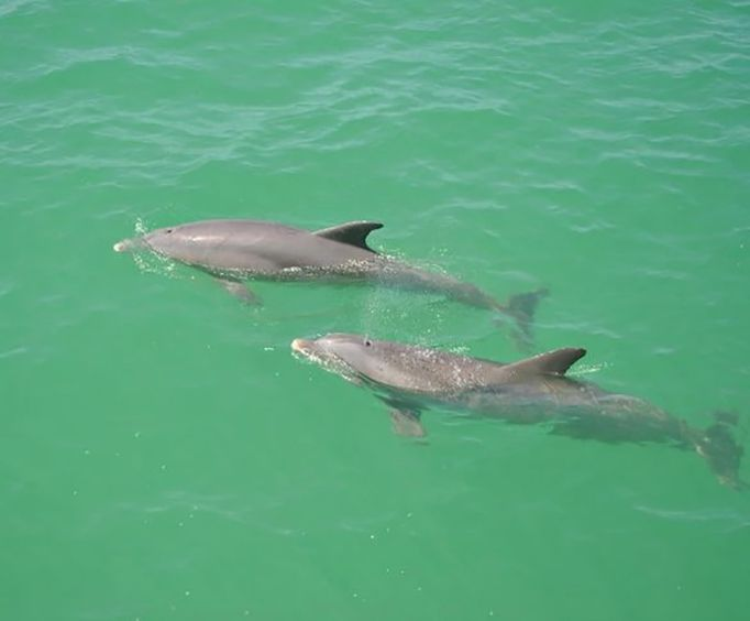 Two Dolphins Swimming with the Dolphin Encounter Tour