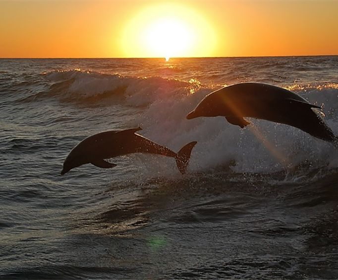 Dolphins Leaping on the Caper Island Sunset Dolphin Discovery Cruise