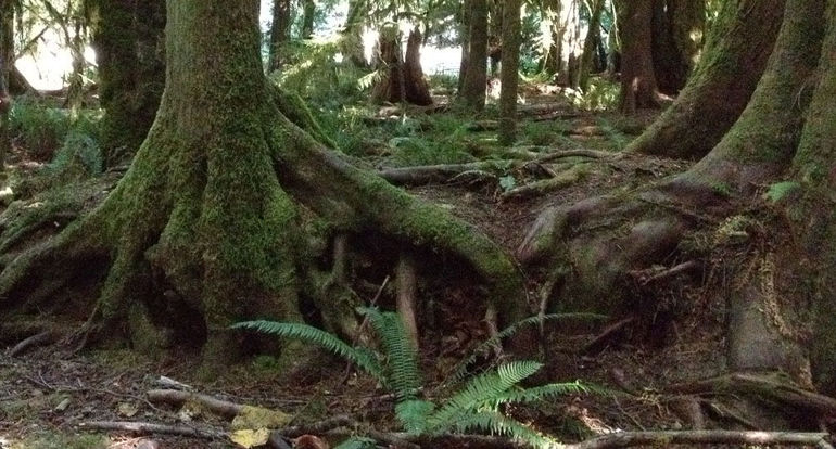 Old growth trees, moss, and ferns