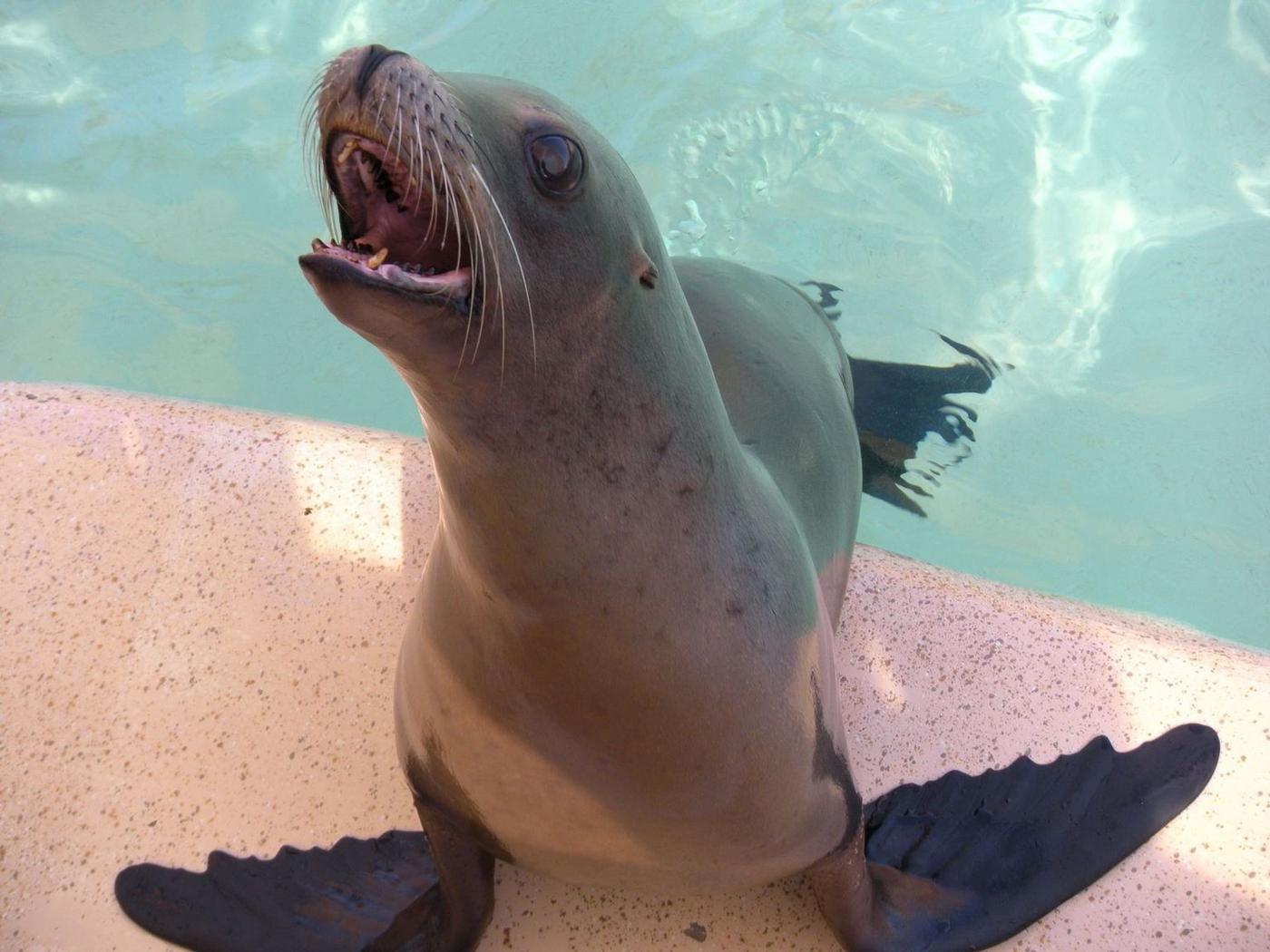 Laughing sea lion