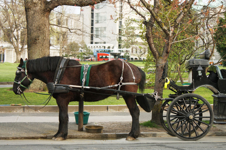 Royal Carriage Tour in Victoria: our horse and carriage