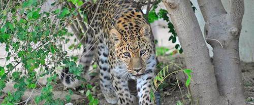 The Living Desert Zoo, cheeta
