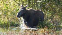 Cow moose in a beaver pond, Grand Teton