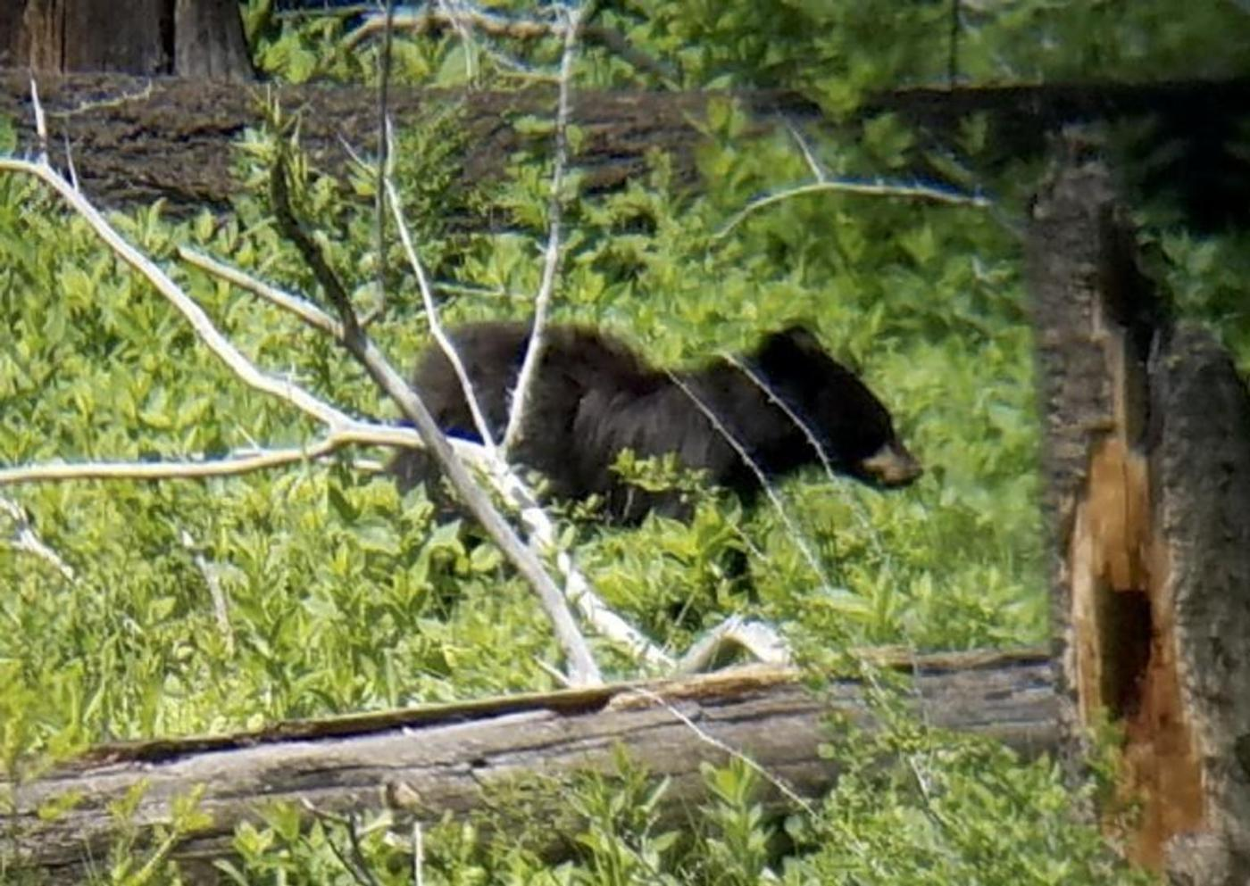 Juvenile Black bear, near Tower Junction