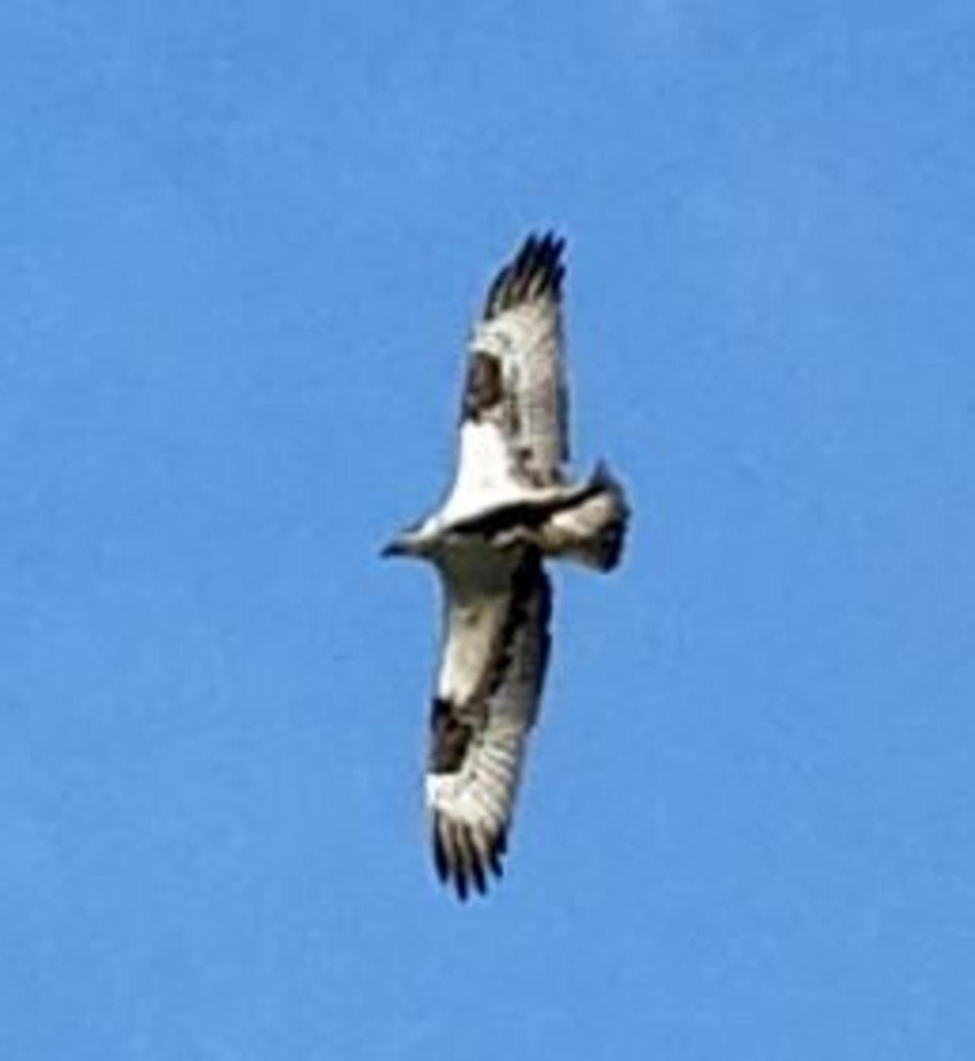 Osprey with trout in its talons Slough Creek