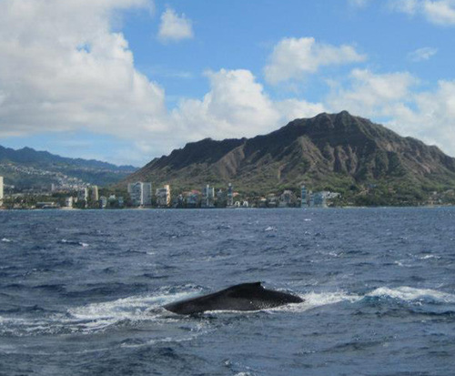 Whale Watch Lunch Cruise in Honolulu, HI