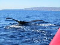 See humpbacks breach the surface of the water on a Maui whale-watching tour.