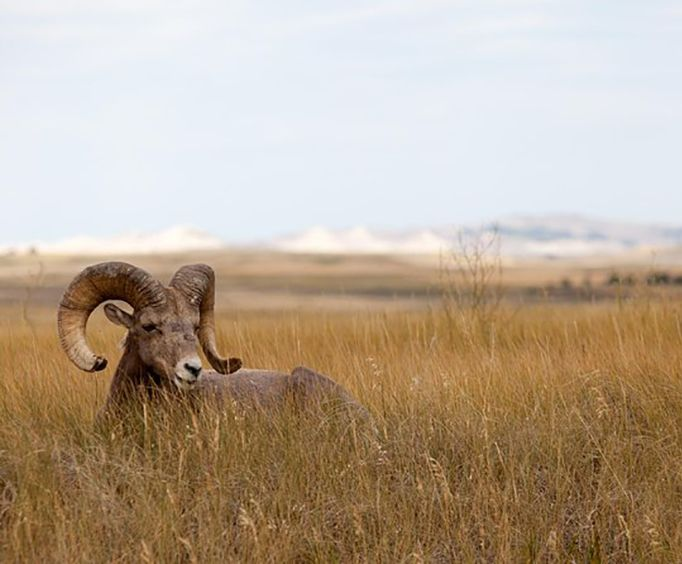 Mountain Sheep wiht the Badlands Day Tour