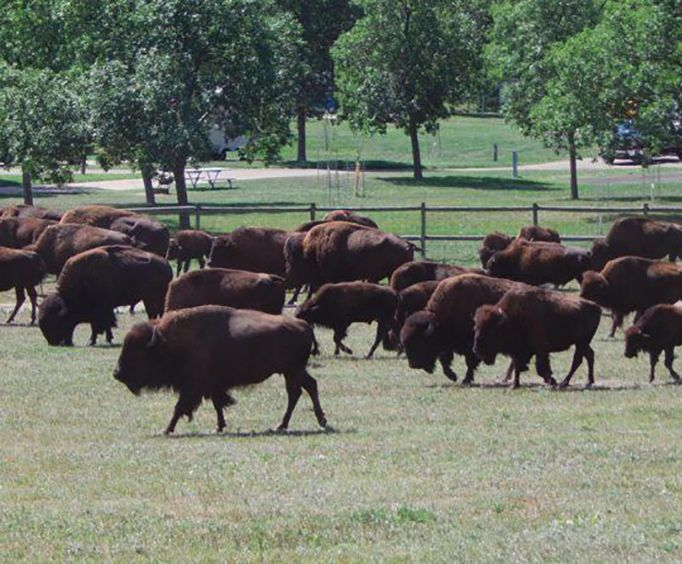 Buffalo Heard with the Top Rated Mount Rushmore Tour Package in the Black Hills