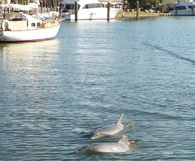 Two Dolphins on the Private Dolphin Manatee Eco River Sightseeing Sunset Tour